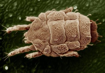 Yellow_mite_(Tydeidae),_Lorryia_formosa